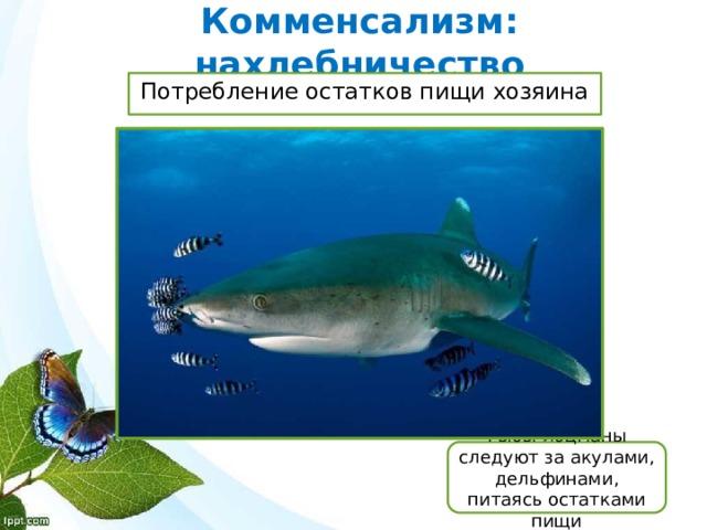 Комменсализм: нахлебничество Потребление остатков пищи хозяина Рыбы-лоцманы следуют за акулами, дельфинами, питаясь остатками пищи