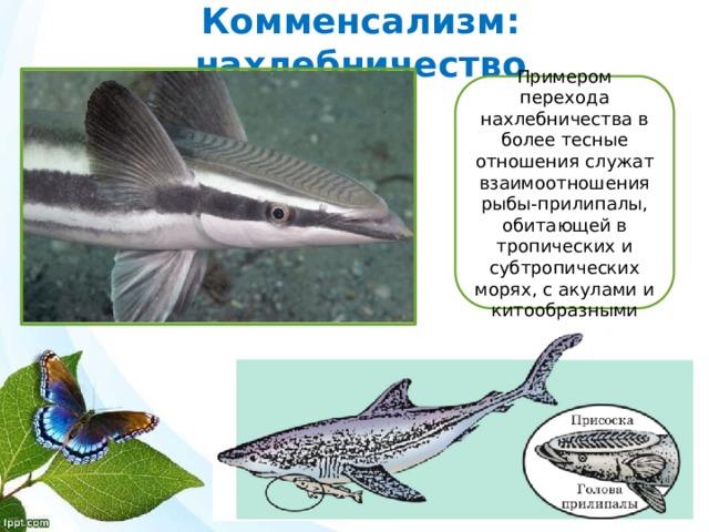 Комменсализм: нахлебничество Примером перехода нахлебничества в более тесные отношения служат взаимоотношения рыбы-прилипалы, обитающей в тропических и субтропических морях, с акулами и китообразными