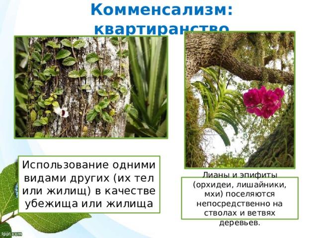 Комменсализм: квартиранство Использование одними видами других (их тел или жилищ) в качестве убежища или жилища Лианы и эпифиты (орхидеи, лишайники, мхи) поселяются непосредственно на стволах и ветвях деревьев.