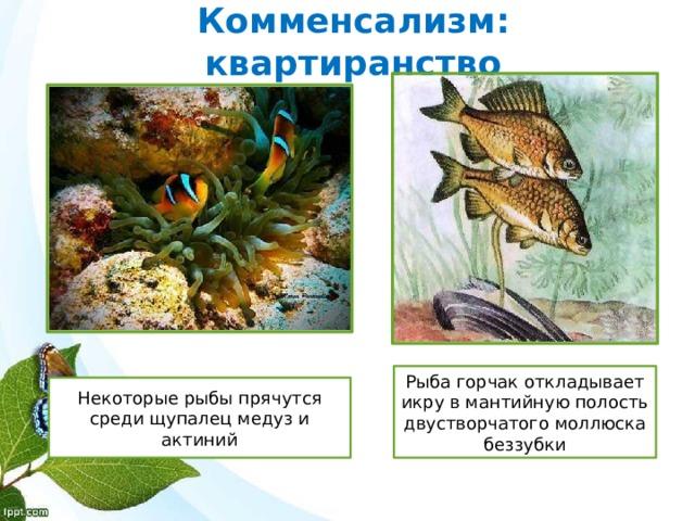 Комменсализм: квартиранство Рыба горчак откладывает икру в мантийную полость двустворчатого моллюска беззубки Некоторые рыбы прячутся среди щупалец медуз и актиний