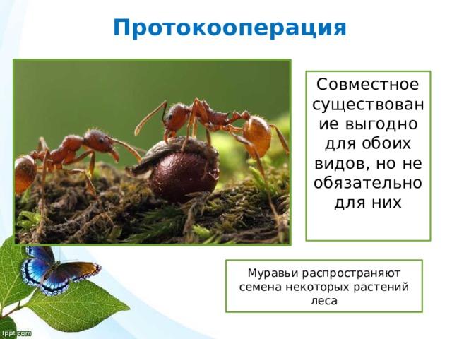 Протокооперация Совместное существование выгодно для обоих видов, но не обязательно для них Муравьи распространяют семена некоторых растений леса