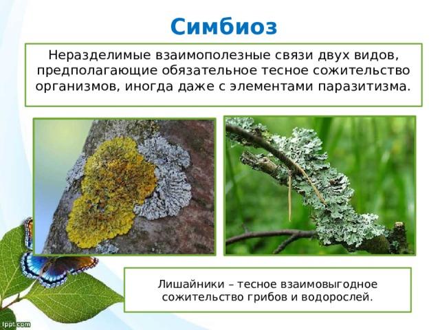 Симбиоз Неразделимые взаимополезные связи двух видов, предполагающие обязательное тесное сожительство организмов, иногда даже с элементами паразитизма. Лишайники – тесное взаимовыгодное сожительство грибов и водорослей.