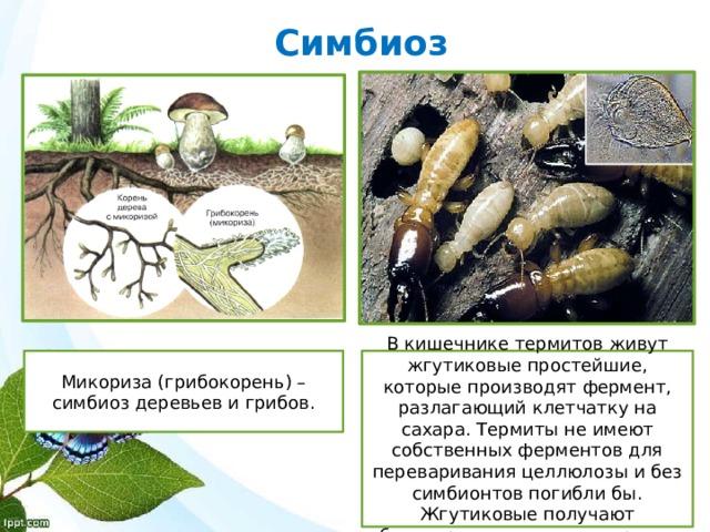 Симбиоз Микориза (грибокорень) – симбиоз деревьев и грибов. В кишечнике термитов живут жгутиковые простейшие, которые производят фермент, разлагающий клетчатку на сахара. Термиты не имеют собственных ферментов для переваривания целлюлозы и без симбионтов погибли бы. Жгутиковые получают благоприятные условия среды.