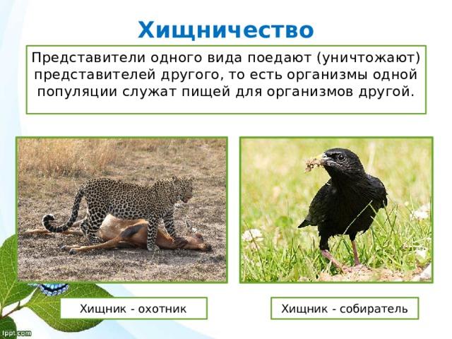 Хищничество Представители одного вида поедают (уничтожают) представителей другого, то есть организмы одной популяции служат пищей для организмов другой. Хищник - охотник Хищник - собиратель