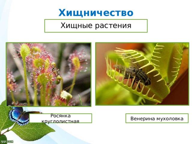 Хищничество Хищные растения Росянка круглолистная Венерина мухоловка