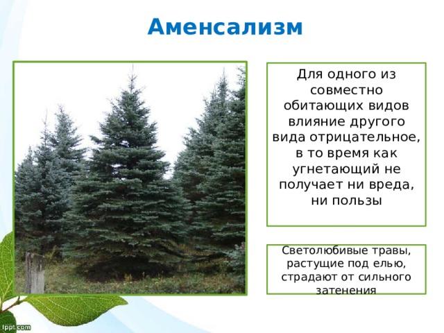 Аменсализм Для одного из совместно обитающих видов влияние другого вида отрицательное, в то время как угнетающий не получает ни вреда, ни пользы Светолюбивые травы, растущие под елью, страдают от сильного затенения