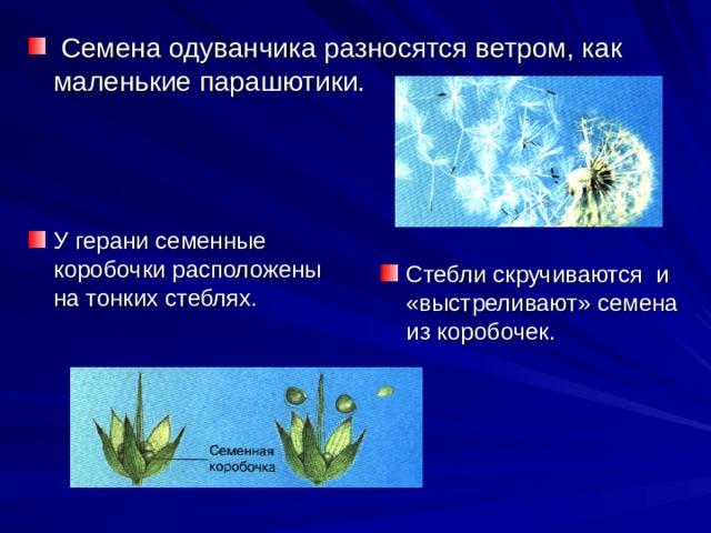 Семена одуванчика разносятся ветром, как маленькие парашютики. У герани семенные коробочки расположены на тонких стеблях. Стебли скручиваются и «выстреливают» семена из коробочек.