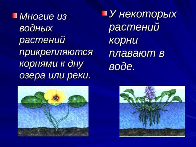 У некоторых растений корни плавают в воде. Многие из водных растений прикрепляются корнями к дну озера или реки .