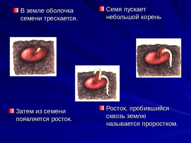 Семя пускает небольшой корень В земле оболочка семени трескается. Росток, пробившийся сквозь землю называется проростком. Затем из семени появляется росток.