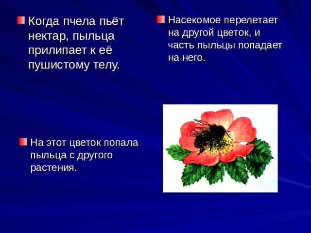 Когда пчела пьёт нектар, пыльца прилипает к её пушистому телу. Насекомое перелетает на другой цветок, и часть пыльцы попадает на него. На этот цветок попала пыльца с другого растения.