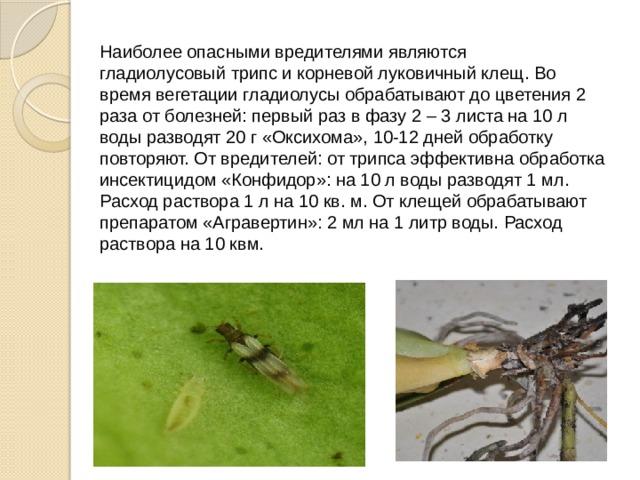 Наиболее опасными вредителями являются гладиолусовыйтрипси корневой луковичный клещ. Во время вегетации гладиолусы обрабатывают до цветения 2 раза от болезней: первый раз в фазу 2 – 3 листа на 10 л воды разводят 20 г «Оксихома», 10-12 дней обработку повторяют. От вредителей: от трипса эффективна обработка инсектицидом «Конфидор»: на 10 л воды разводят 1 мл. Расход раствора 1 л на 10 кв. м. От клещей обрабатывают препаратом «Агравертин»: 2 мл на 1 литр воды. Расход раствора на 10 квм.