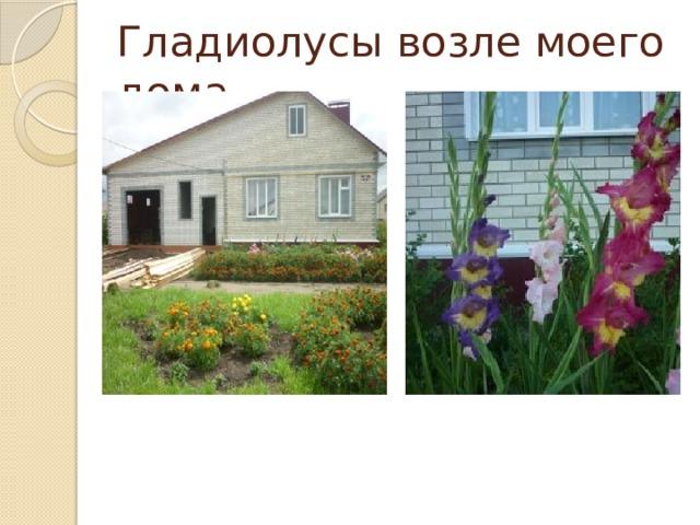Гладиолусы возле моего дома