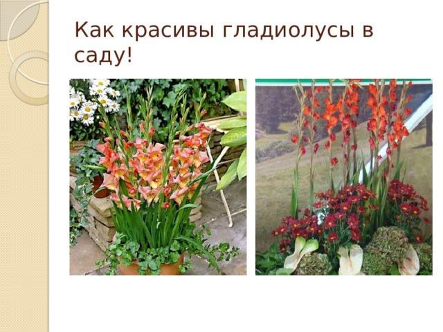 Как красивы гладиолусы в саду!