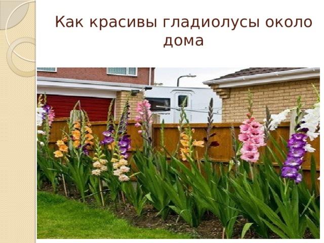 Как красивы гладиолусы около дома