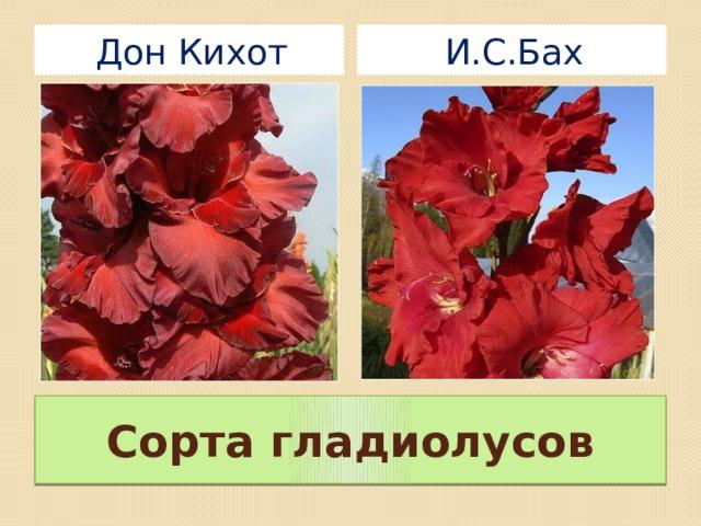 И.С.Бах Дон Кихот Сорта гладиолусов