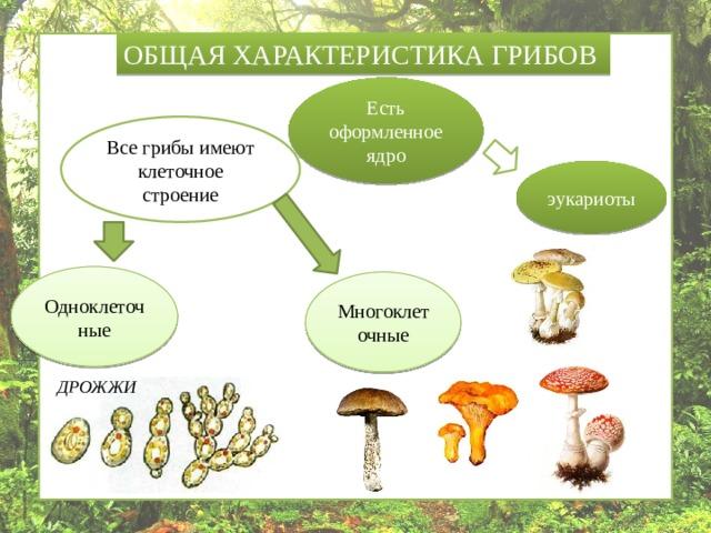 ОБЩАЯ ХАРАКТЕРИСТИКА ГРИБОВ Есть оформленное ядро Все грибы имеют клеточное строение эукариоты Одноклеточные Многоклеточные ДРОЖЖИ