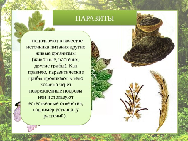 ПАРАЗИТЫ - используют в качестве источника питания другие живые организмы (животные, растения, другие грибы). Как правило, паразитические грибы проникают в тело хозяина через поврежденные покровы или используют естественные отверстия, например устьица (у растений).
