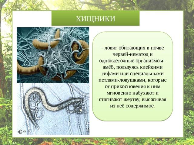 ХИЩНИКИ - ловят обитающих в почве червей-нематод и одноклеточные организмоы– амёб, пользуясь клейкими гифами или специальными петлями-ловушками, которые от прикосновения к ним мгновенно набухают и стягивают жертву, высасывая из неё содержимое.