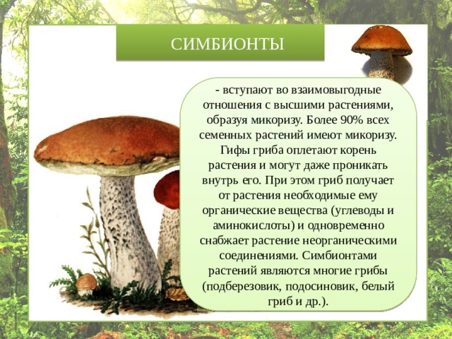 СИМБИОНТЫ - вступают во взаимовыгодные отношения с высшими растениями, образуя микоризу. Более 90% всех семенных растений имеют микоризу. Гифы гриба оплетают корень растения и могут даже проникать внутрь его. При этом гриб получает от растения необходимые ему органические вещества (углеводы и аминокислоты) и одновременно снабжает растение неорганическими соединениями. Симбионтами растений являются многие грибы (подберезовик, подосиновик, белый гриб и др.).