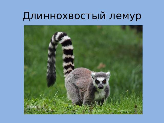 Длиннохвостый лемур