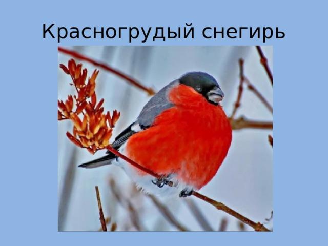 Красногрудый снегирь
