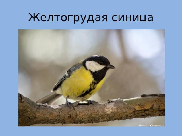 Желтогрудая синица