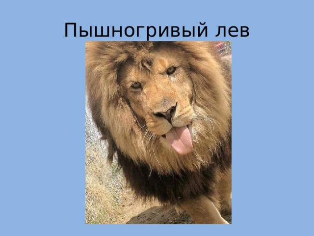 Пышногривый лев