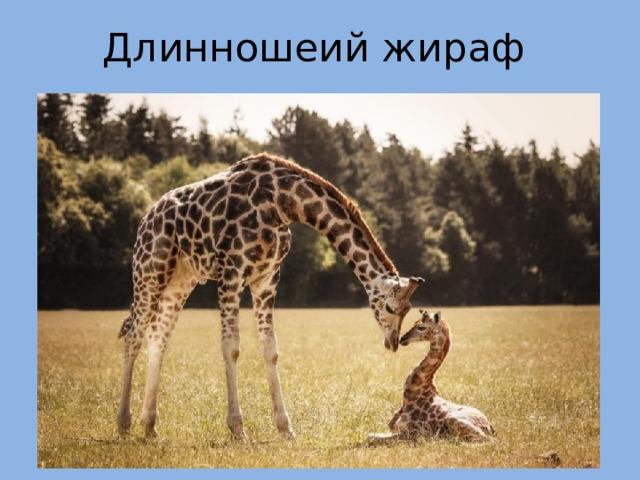 Длинношеий жираф