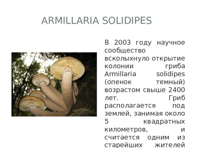 Armillaria solidipes В 2003 году научное сообщество всколыхнуло открытие колонии гриба Armillaria solidipes (опенок темный) возрастом свыше 2400 лет. Гриб располагается под землей, занимая около 5 квадратных километров, и считается одним из старейших жителей Земли.