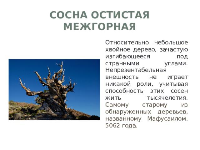 Сосна остистая межгорная Относительно небольшое хвойное дерево, зачастую изгибающееся под странными углами. Непрезентабельная внешность не играет никакой роли, учитывая способность этих сосен жить тысячелетия. Самому старому из обнаруженных деревьев, названному Мафусаилом, 5062 года.