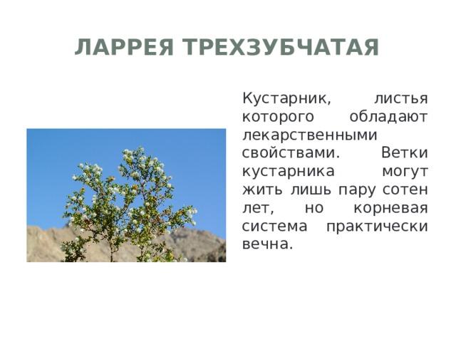 Ларрея трехзубчатая Кустарник, листья которого обладают лекарственными свойствами. Ветки кустарника могут жить лишь пару сотен лет, но корневая система практически вечна.