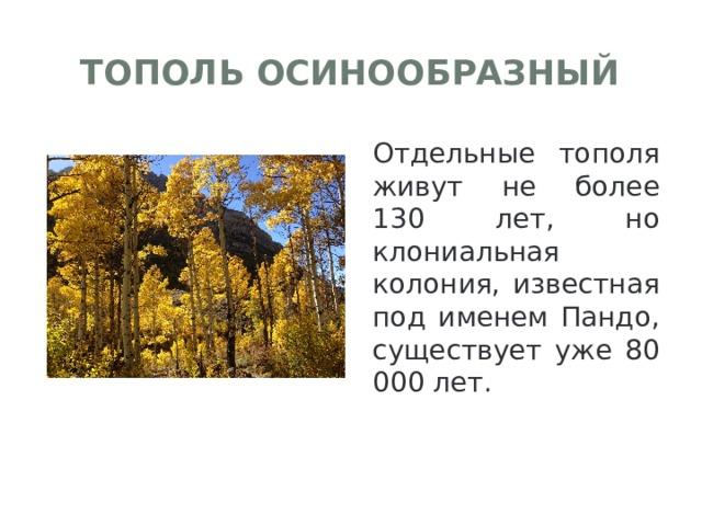 Тополь осинообразный Отдельные тополя живут не более 130 лет, но клониальная колония, известная под именем Пандо, существует уже 80 000 лет.