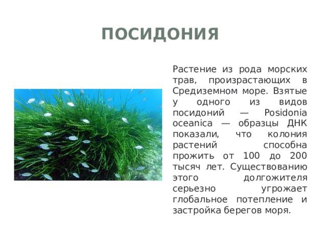 Посидония Растение из рода морских трав, произрастающих в Средиземном море. Взятые у одного из видов посидоний — Posidonia oceanica — образцы ДНК показали, что колония растений способна прожить от 100 до 200 тысяч лет. Существованию этого долгожителя серьезно угрожает глобальное потепление и застройка берегов моря.