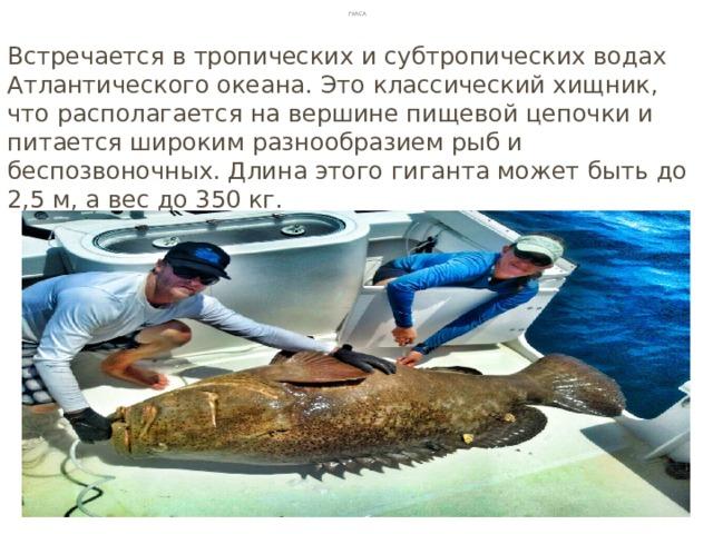 Гуаса Встречается в тропических и субтропических водах Атлантического океана. Это классический хищник, что располагается на вершине пищевой цепочки и питается широким разнообразием рыб и беспозвоночных. Длина этого гиганта может быть до 2,5 м, а вес до 350 кг.