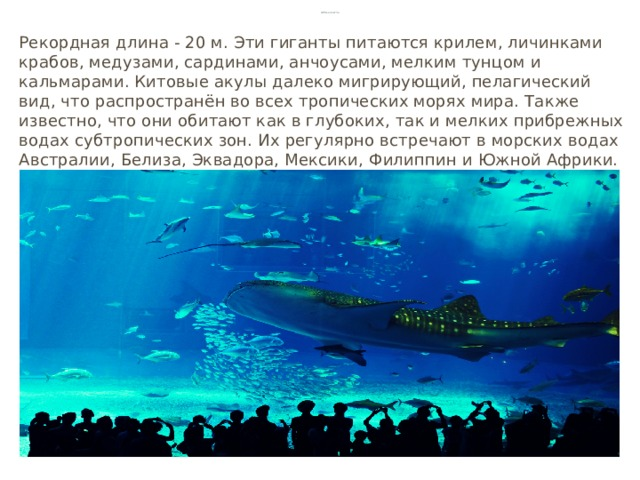Китовая акула Рекордная длина - 20 м. Эти гиганты питаются крилем, личинками крабов, медузами, сардинами, анчоусами, мелким тунцом и кальмарами. Китовые акулы далеко мигрирующий, пелагический вид, что распространён во всех тропических морях мира. Также известно, что они обитают как в глубоких, так и мелких прибрежных водах субтропических зон. Их регулярно встречают в морских водах Австралии, Белиза, Эквадора, Мексики, Филиппин и Южной Африки.