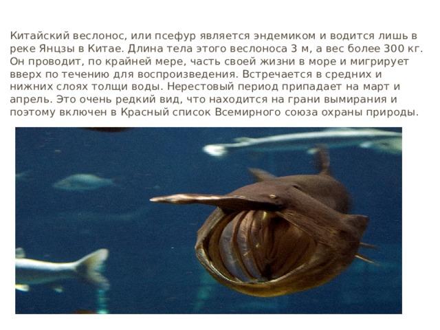 Псефур Китайский веслонос, или псефур является эндемиком и водится лишь в реке Янцзы в Китае. Длина тела этого веслоноса 3 м, а вес более 300 кг. Он проводит, по крайней мере, часть своей жизни в море и мигрирует вверх по течению для воспроизведения. Встречается в средних и нижних слоях толщи воды. Нерестовый период припадает на март и апрель. Это очень редкий вид, что находится на грани вымирания и поэтому включен в Красный список Всемирного союза охраны природы.