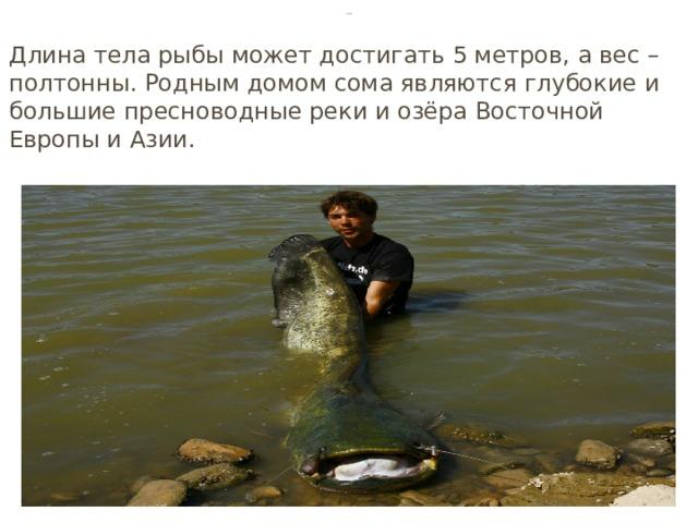 Сом Длина тела рыбы может достигать 5 метров, а вес – полтонны. Родным домом сома являются глубокие и большие пресноводные реки и озёра Восточной Европы и Азии.