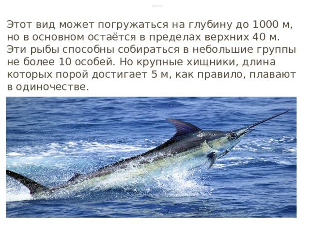 Голубой марлин Этот вид может погружаться на глубину до 1000 м, но в основном остаётся в пределах верхних 40 м. Эти рыбы способны собираться в небольшие группы не более 10 особей. Но крупные хищники, длина которых порой достигает 5 м, как правило, плавают в одиночестве.