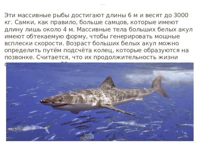 Белая акула Эти массивные рыбы достигают длины 6 м и весят до 3000 кг. Самки, как правило, больше самцов, которые имеют длину лишь около 4 м. Массивные тела больших белых акул имеют обтекаемую форму, чтобы генерировать мощные всплески скорости. Возраст больших белых акул можно определить путём подсчёта колец, которые образуются на позвонке. Считается, что их продолжительность жизни составляет около 30 лет.