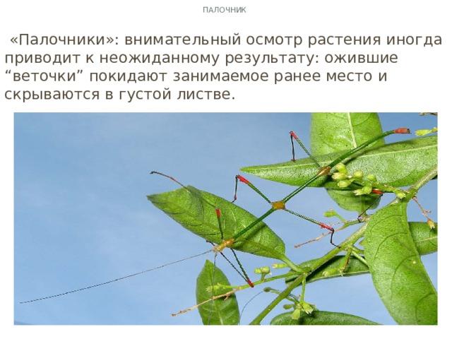 """Палочник  «Палочники»: внимательный осмотр растения иногда приводит к неожиданному результату: ожившие """"веточки"""" покидают занимаемое ранее место и скрываются в густой листве."""