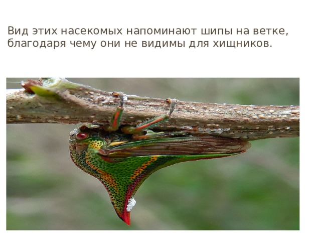 Горбатки Вид этих насекомых напоминают шипы на ветке, благодаря чему они не видимы для хищников.
