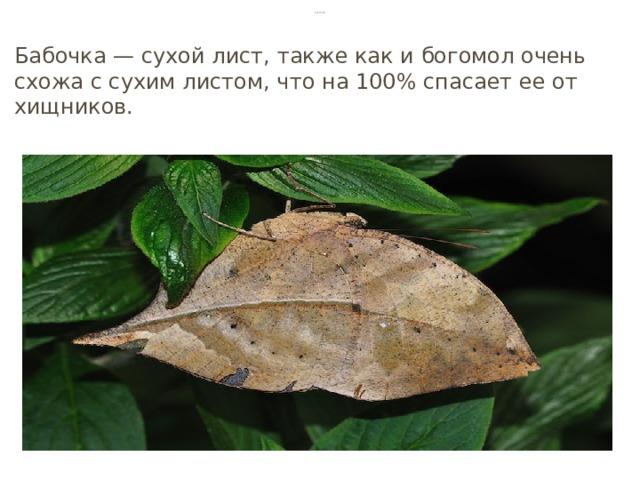 Бабочка Бабочка — сухой лист, также как и богомол очень схожа с сухим листом, что на 100% спасает ее от хищников.