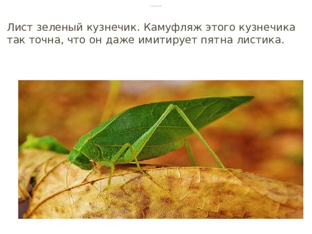 Зеленый кузнечик Лист зеленый кузнечик. Камуфляж этого кузнечика так точна, что он даже имитирует пятна листика.