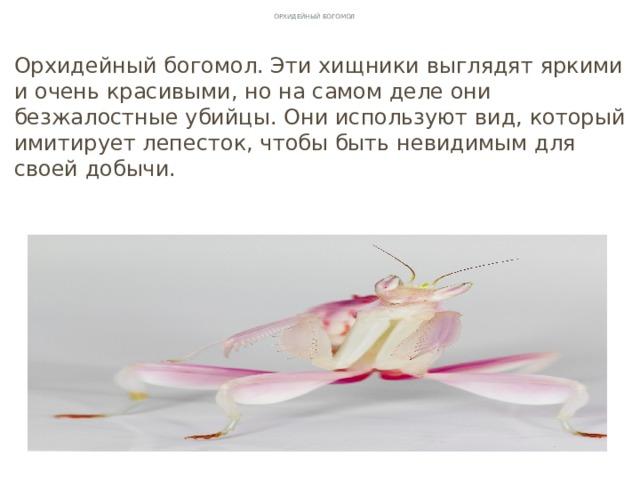 Орхидейный богомол Орхидейный богомол. Эти хищники выглядят яркими и очень красивыми, но на самом деле они безжалостные убийцы. Они используют вид, который имитирует лепесток, чтобы быть невидимым для своей добычи.