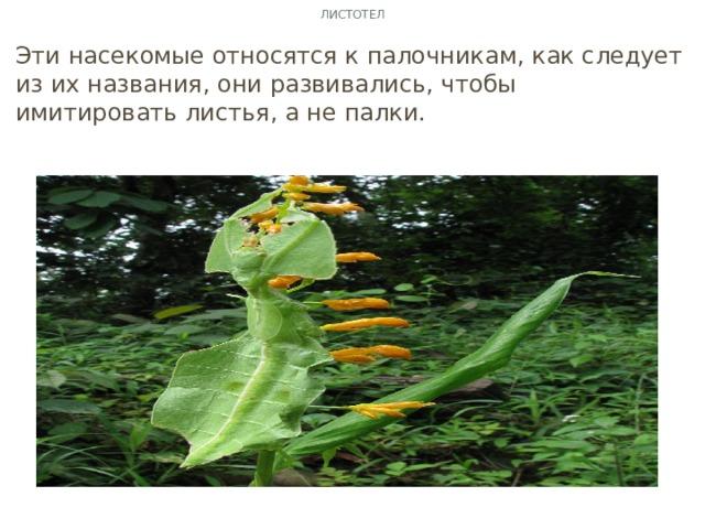 Листотел Эти насекомые относятся к палочникам, как следует из их названия, они развивались, чтобы имитировать листья, а не палки.
