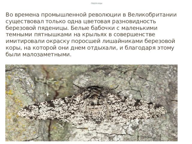 Пяденицы Во времена промышленной революции в Великобритании существовал только одна цветовая разновидность березовой пяденицы. Белые бабочки с маленькими темными пятнышками на крыльях в совершенстве имитировали окраску поросшей лишайниками березовой коры, на которой они днем отдыхали, и благодаря этому были малозаметными.