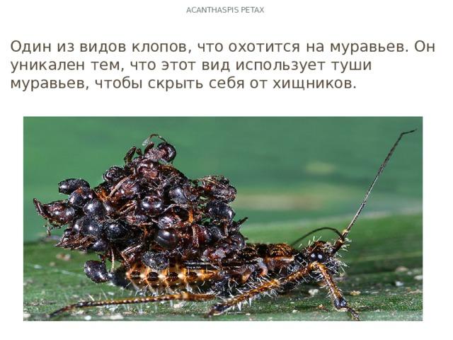 Acanthaspis PETAX Один из видов клопов, что охотится на муравьев. Он уникален тем, что этот вид использует туши муравьев, чтобы скрыть себя от хищников.
