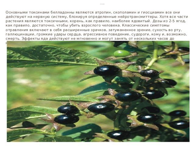 Белладонна Основными токсинами белладонны являются атропин, скополамин и гиосциамин все они действуют на нервную систему, блокируя определенные нейротрансмиттеры. Хотя все части растения являются токсичными, корень, как правило, наиболее ядовитый. Дозы из 2-5 ягод, как правило, достаточно, чтобы убить взрослого человека. Классические симптомы отравления включают в себя расширенные зрачков, затуманенное зрение, сухость во рту, галлюцинации, громкие удары сердца, агрессивное поведение, судороги, кому и, возможно, смерть. Эффекты яда действуют не мгновенно и могут занять от нескольких часов до нескольких дней, чтобы вызвать смертельный исход.