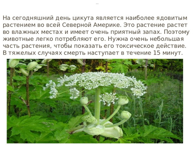 Цикута На сегодняшний день цикута является наиболее ядовитым растением во всей Северной Америке. Это растение растет во влажных местах и имеет очень приятный запах. Поэтому животные легко потребляют его. Нужна очень небольшая часть растения, чтобы показать его токсическое действие. В тяжелых случаях смерть наступает в течение 15 минут.