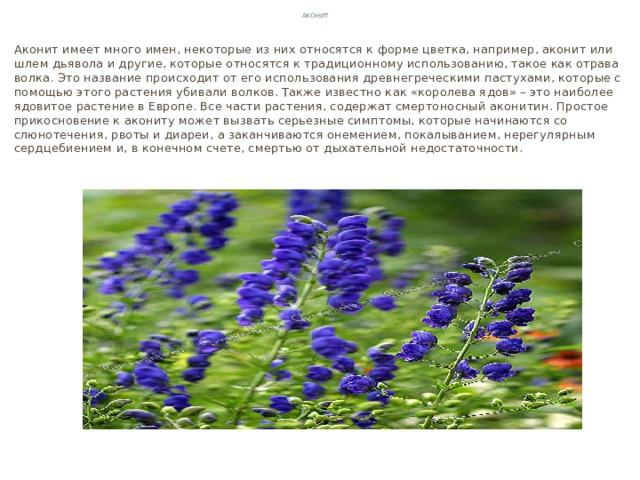 Аконит Аконит имеет много имен, некоторые из них относятся к форме цветка, например, аконит или шлем дьявола и другие, которые относятся к традиционному использованию, такое как отрава волка. Это название происходит от его использования древнегреческими пастухами, которые с помощью этого растения убивали волков. Также известно как «королева ядов» – это наиболее ядовитое растение в Европе. Все части растения, содержат смертоносный аконитин. Простое прикосновение к акониту может вызвать серьезные симптомы, которые начинаются со слюнотечения, рвоты и диареи, а заканчиваются онемением, покалыванием, нерегулярным сердцебиением и, в конечном счете, смертью от дыхательной недостаточности.